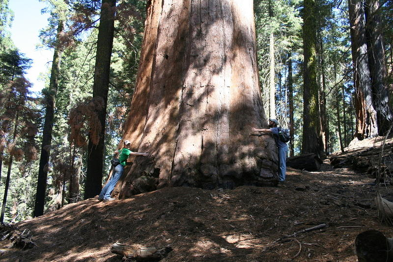 hugging a sequoia